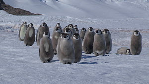 Emperor penguin (Aptenodytes forsteri) chicks walking to the sea, with a glacier in the background, Adelie Land, Antarctica, January. - Fred  Olivier