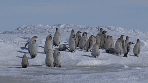 Group of Emperor penguin (Aptenodytes forsteri) chicks walking to the sea, tiny chick lagging behind others falls in water, Adelie Land, Antarctica, January. - Fred  Olivier