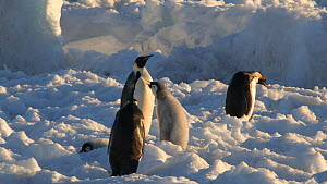 Emperor penguin (Aptenodytes forsteri) trying to feed chick, Adelie Land, Antarctica, January. - Fred  Olivier