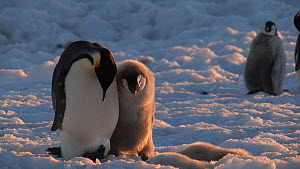 Emperor penguin (Aptenodytes forsteri) chick begging for food from parent, Adelie Land, Antarctica, January.  -  Fred  Olivier
