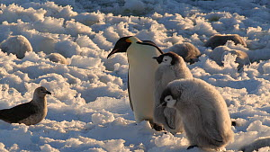 Emperor penguin (Aptenodytes forsteri) chick begging for food from parent, disturbed by a South polar skua (Stercorarius maccormicki), Adelie Land, Antarctica, January.  -  Fred  Olivier