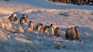 Group of Emperor penguin (Aptenodytes forsteri) chicks walking to the sea, stumbling on rough ice, Adelie Land, Antarctica, January. - Fred  Olivier