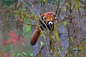 Red panda (Ailurus fulgens) Balang Mountain, Wolong National Nature Reserve, Sichuan Giant Panda Sanctuaries - Wolong,  Mt Siguniang and Jiajin Mountains UNESCO World Heritage Site, Sichuan Province,... - Dong Lei