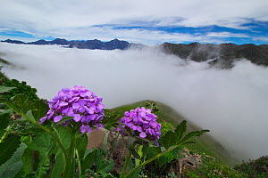 Wild flowers (Cardamine tangutorum) Balang Mountain, Wolong National Nature Reserve, Sichuan Giant Panda Sanctuaries - Wolong,  Mt Siguniang and Jiajin Mountains UNESCO World Heritage Site, Sichuan Pr...  -  Dong Lei