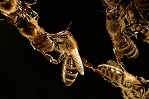 Honey bees (Apis mellifera) forming living bridge,  Kiel, Germany, June. - Solvin Zankl