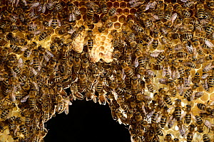 Honey bee (Apis mellifera) workers in hive with three white queen cells, Kiel, Germany, June.  -  Solvin Zankl