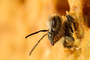 Honey bee (Apis mellifera) adult emerging from brood cell, Kiel, Germany - Solvin Zankl