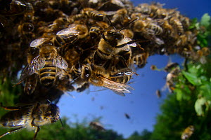 Honey bee (Apis mellifera) swarm. Kiel Germany, June  -  Solvin Zankl