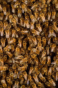 Honey bee (Apis mellifera) swarm. Kiel Germany, June. - Solvin Zankl