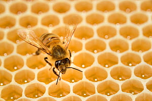 Honey bee (Apis mellifera) on comb with honey, Kiel, Germany, June.  -  Solvin Zankl