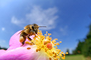 Honeybee (Apis mellifera) on rose flower, Kiel, Germany, July.  -  Solvin Zankl