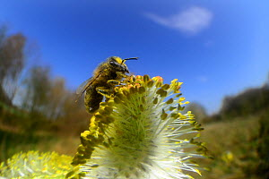 Honey bee (Apis mellifera) collecting pollen on Goat willow (Salix caprea) Kiel, Germany, April.  -  Solvin Zankl