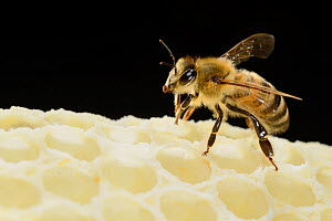 Honey bee (Apis mellifera) worker on freshly made honey comb, Kiel, Germany, May.  -  Solvin Zankl