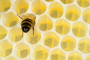 Honey bee 1+Apis mellifera+2 worker on freshly made honey comb, Kiel, Germany, May.  -  Solvin Zankl