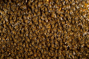 Honey bee (Apis mellifera) swarm, Kiel, Germany, May. - Solvin Zankl