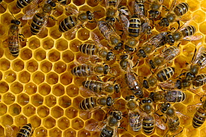 Honey bee (Apis mellifera) queen standing surrounded by workers,  Kiel, Germany, May.  -  Solvin Zankl