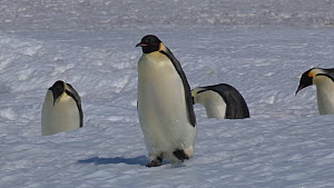 Wide-angle shot of a group of Emperor penguins (Aptenodytes forsteri) walking, one slips and falls, Adelie Land, Antarctica, January. - Fred  Olivier