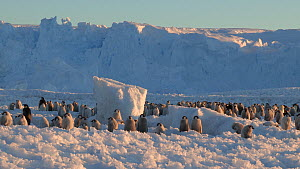 Wide-angle shot of an Emperor penguin (Aptenodytes forsteri) colony at sunset, Adelie Land, Antarctica, January.  -  Fred  Olivier