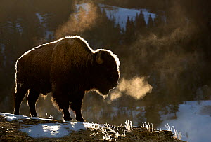 RF - Bison (Bison bison) breathing in the cold air, Yellowstone National Park, USA, February - Danny Green