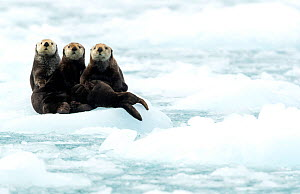 Three Sea otters (Enhydra lutris) resting on ice, Alaska, June  -  Danny Green