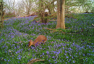 Reeves's muntjac (Muntiacus reevesi) in bluebell woodland, taken with remove camera. Rookery Wood, Sussex, England, UK, April. Small repro only  -  Stephen  Dalton