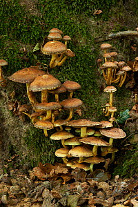 Sulphur tuft (Hypholoma fasciculare) Rookery Wood, Sussex, England, UK, November. - Stephen  Dalton