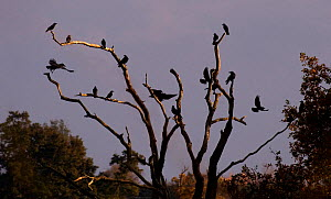 Rooks (Corvus frugilegus) roosting in the evening,  Sussex, England, UK. November.  -  Stephen  Dalton