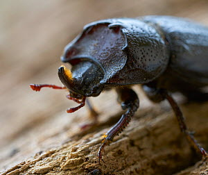 Least stag beetle (Sinodendron cylindricum) portrait, Rookery Wood, Sussex, England, UK, May. - Stephen  Dalton