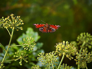 Peacock butterfly (Aglais io) flying over ivy flowersSussex, England, UK. October.  -  Stephen  Dalton