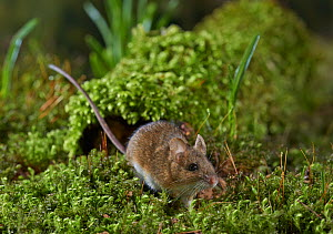 Wood mouse (Apodemus sylvaticus) portrait, Rookery Wood, Sussex, England, UK, February.  -  Stephen  Dalton