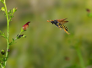 Figwort sawfly ( Tenthredo scrophulariae) flying to figwort, Rookery Wood, Sussex, England, UK. August.  -  Stephen  Dalton