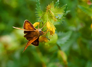 Larger skipper (Ochlodes sylvanus) feeding on Yellow rattle (Rhinanthus minor) Rookery Wood, Sussex, England, UK. June. - Stephen  Dalton