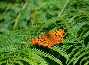 Comma butterfly (Polygonia c-album) Rookery Wood, Sussex, England, UK. July.  -  Stephen  Dalton