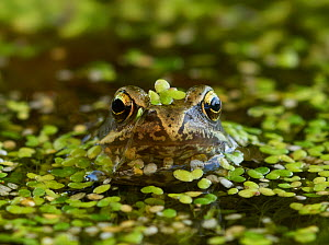 Common frog (Rana temporaria) in pondweed,   Rookery Wood, Sussex, England, UK. July. - Stephen  Dalton