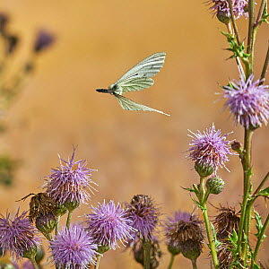 Green veined white butterfly (Pieris napi) in flight, Rookery Wood, Sussex, England,  UK, August.  -  Stephen  Dalton
