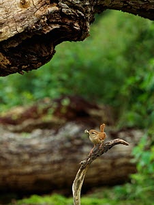 Wren (Troglodytes troglodytes) carrying food to nest in tree branch above, Rookery Wood, Sussex, England, UK, September.  -  Stephen  Dalton