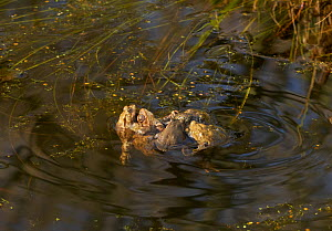 Common toads (Bufo bufo) courting, Rookery Wood, Sussex, England, UK, March.  -  Stephen  Dalton