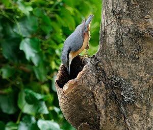 Nuthatch (Sitta europaea) hunting insects in dead ash tree, Rookery Wood, Sussex, England, March.  -  Stephen  Dalton