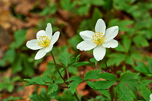 Wood anemone (Anemone nemorosa) flowers, Rookery Wood, Sussex, England, UK, April.  -  Stephen  Dalton