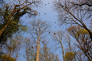 Rooks (Corvus frugilegus) in rookery, Rookery Wood, Sussex, England, UK, April.  -  Stephen  Dalton