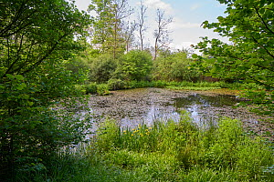 Rookery pond in spring, Rookery Wood, Sussex, England, UK, May 2016.  -  Stephen  Dalton