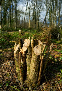 Hazel  (Corylus avellana)  coppiced at 18 inches  to prevent damage from rabbits and Muntjac deer, Rookery Wood, Sussex, England, UK, October 2016. - Stephen  Dalton