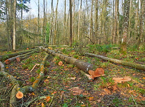 Felled Ash (Fraxinus excelsior) trees creating to create a glade, Rookery Wood, Sussex, England, UK, November 2015. - Stephen  Dalton