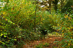 Woodland path with freshly coppiced Hazel (Corylus avellana) at edges, Rookery Wood, Sussex, England, UK, October 2016. - Stephen  Dalton