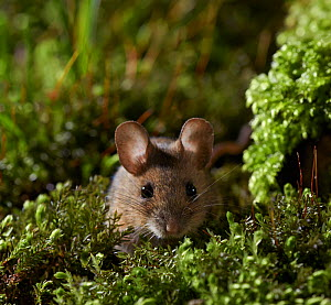Wood mouse (Apodemus sylvaticus) portrait, Rookery Wood, Sussex, England, UK. February.  -  Stephen  Dalton