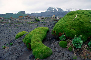 Rounded mounds of vegetation by the disused ANARE, Australian National Antarctic Research Expedition, huts at Atlas Cove. Heard Island, Heard and McDonald Islands UNESCO World Natural Heritage Site Su...  -  Bryan and Cherry Alexander