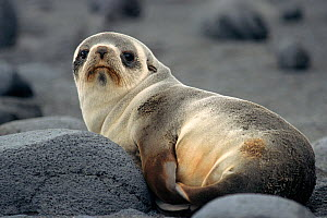 Antarctic Fur Seal pup (Arctocephalus gazella) on the beach at Sealers Corner, Heard Island, Heard and McDonald Islands UNESCO World Natural Heritage Site Sub-Antarctica.  -  Bryan and Cherry Alexander