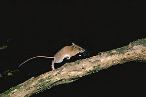 Small Japanese field mouse (Apodemus argenteus), running along a branch at night, Yamanishi, Japan.  -  Nature Production