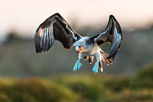 Blue-footed booby (Sula nebouxii) in flight. North Seymour Island, Galapagos.  -  Roy Mangersnes