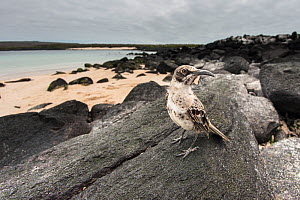 Espanola mockingbird (Nesomimus macdonaldi) on the beach at Espanola Island, Galapagos.  -  Roy Mangersnes